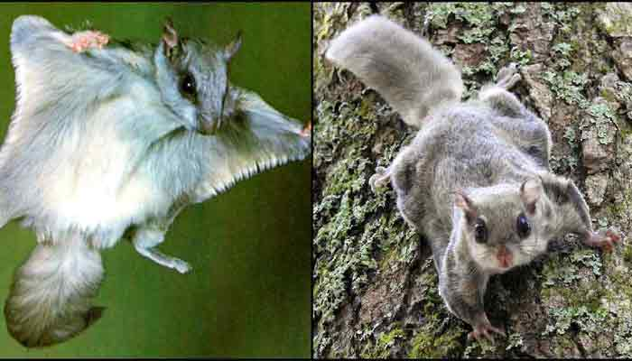 A rare flying squirrel found in this place in Chhattisgarh