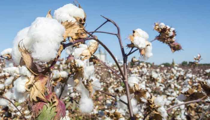 Along with paddy Chhattisgarh is also becoming a major producer in cotton cultivation production increased three times in 5 years
